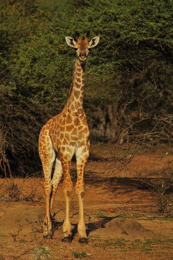 Ciekawa młoda żyrafa zdjęcia royalty free