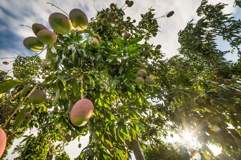 Ciekawa Mangowego drzewa fotografia spod spodu obrazy stock