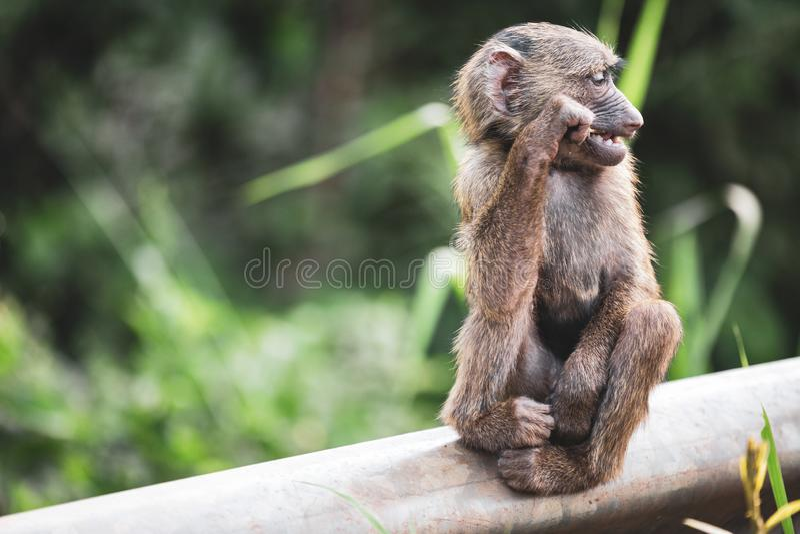 Ciekawa potomstwo małpa siedzi czekanie obraz stock