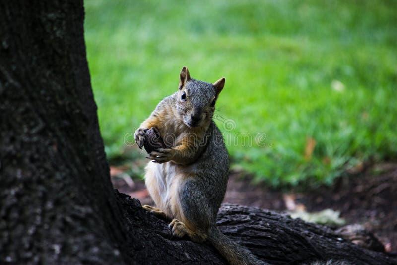ciekawa wiewiórka obraz stock