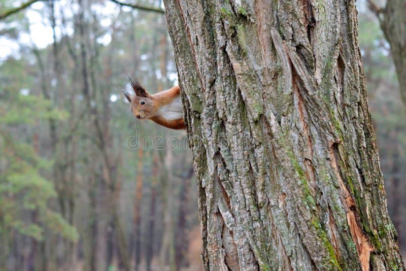 Ciekawa wiewiórka na drzewie zdjęcie royalty free