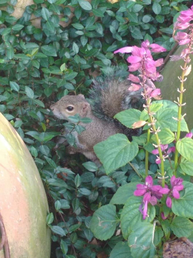 Ciekawa wiewiórka, pozuje wśród kwiatów obraz stock