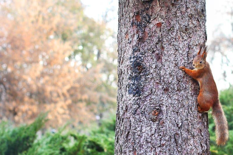 ciekawa wiewiórka ruda wiewiórka wiewiórka Jesień Zima Lasowa Piękna wiewiórka fotografia stock