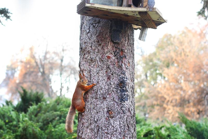 ciekawa wiewiórka ruda wiewiórka wiewiórka Jesień Zima Lasowa Piękna wiewiórka zdjęcia stock