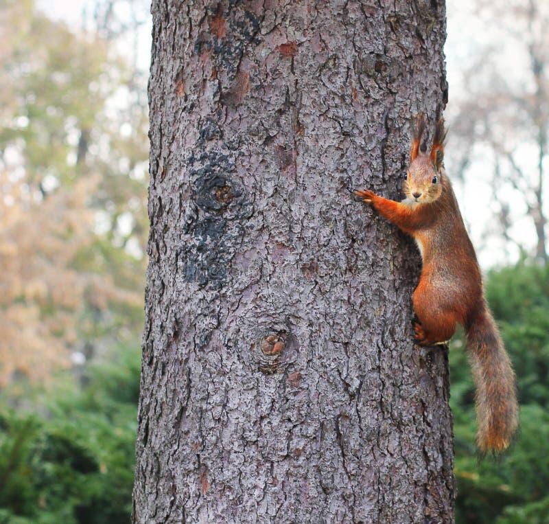 ciekawa wiewiórka ruda wiewiórka wiewiórka Jesień Zima Lasowa Piękna wiewiórka fotografia royalty free