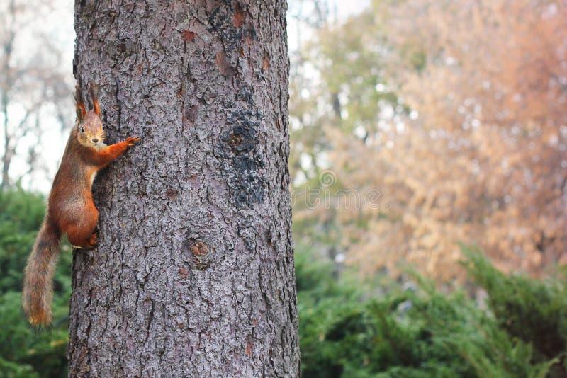 ciekawa wiewiórka ruda wiewiórka wiewiórka Jesień Zima Lasowa Piękna wiewiórka obrazy stock