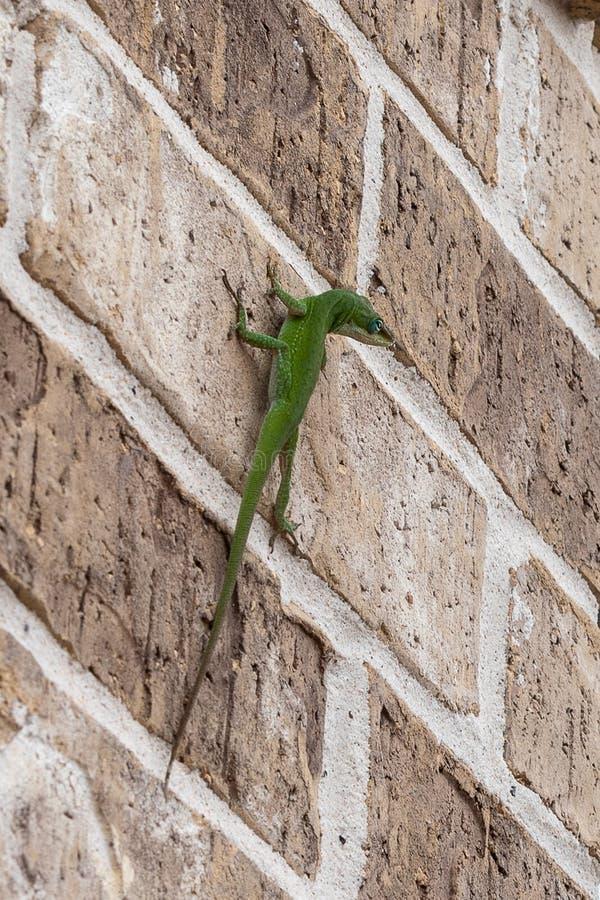 Ciekawa zielona jaszczurka z głową zadzierającą strona obraz royalty free