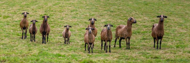 ciekawe kozy obrazy royalty free