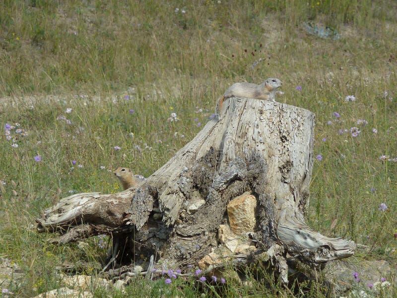 Ciekawe zmielone wiewiórki na fiszorku zdjęcie royalty free