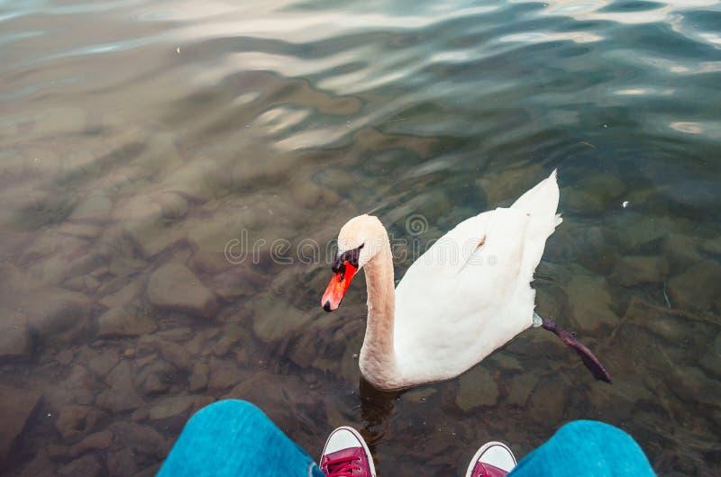Ciekawi łabędź pływania wewnątrz blisko do antrakta z turysta nogami Switzerland i sneakers jeziorną lucerną obraz stock