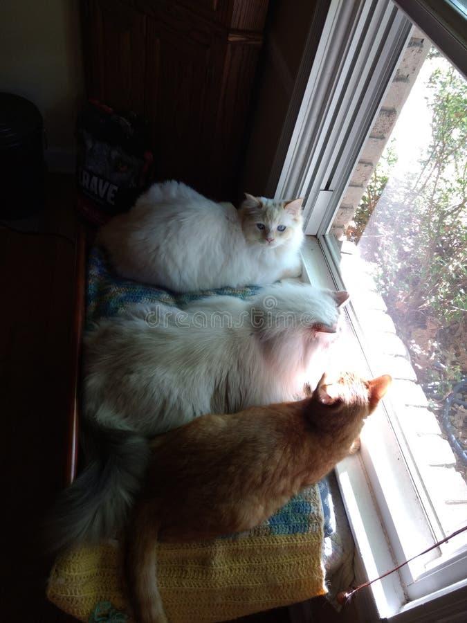 Ciekawi koty 1, 3 i obraz stock