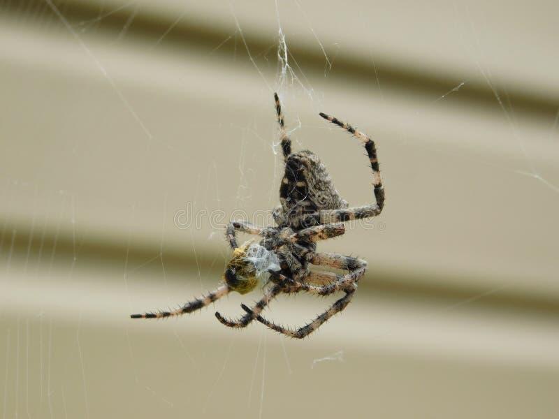 Ciekawi pająków gatunki zdjęcie stock