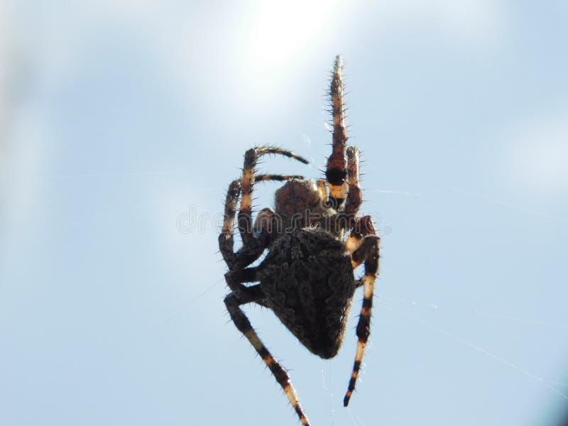 Ciekawi pająków gatunki obraz royalty free