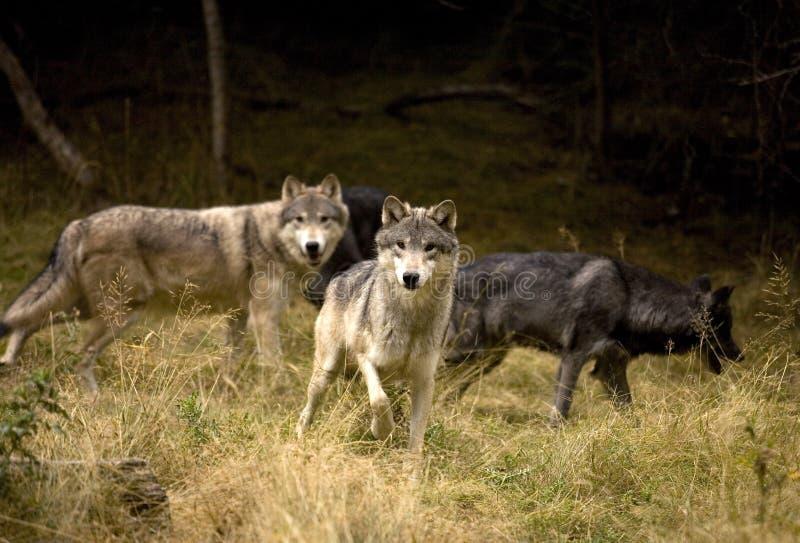 Ciekawi Szarzy wilki zdjęcia stock