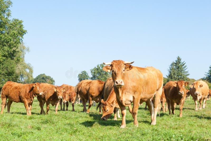 Ciekawska Limousin wołowiny krowa z stadem bydło obraz royalty free