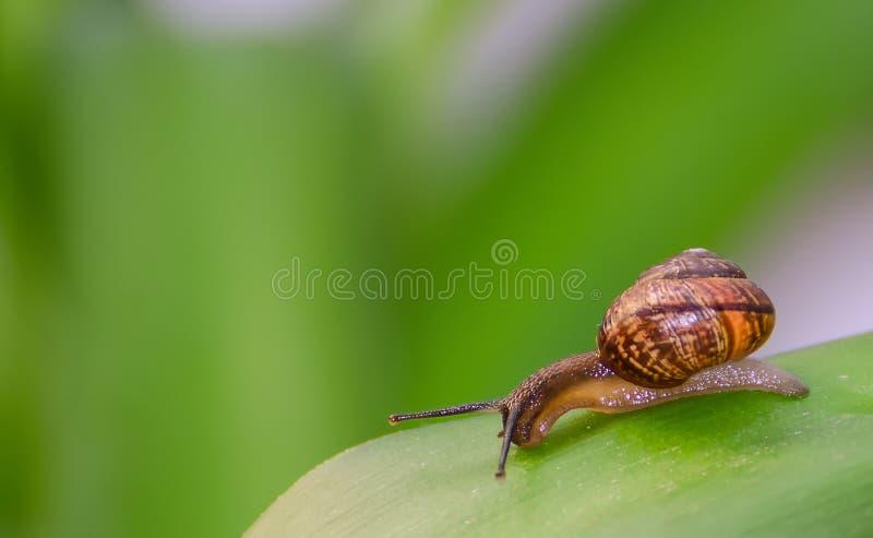 Ciekawy ślimaczek Na Liściu. Zdjęcie Royalty Free