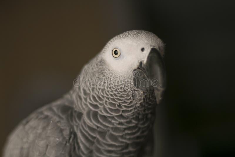 Ciekawy afrykańskich szarość papugi ptak zdjęcie royalty free