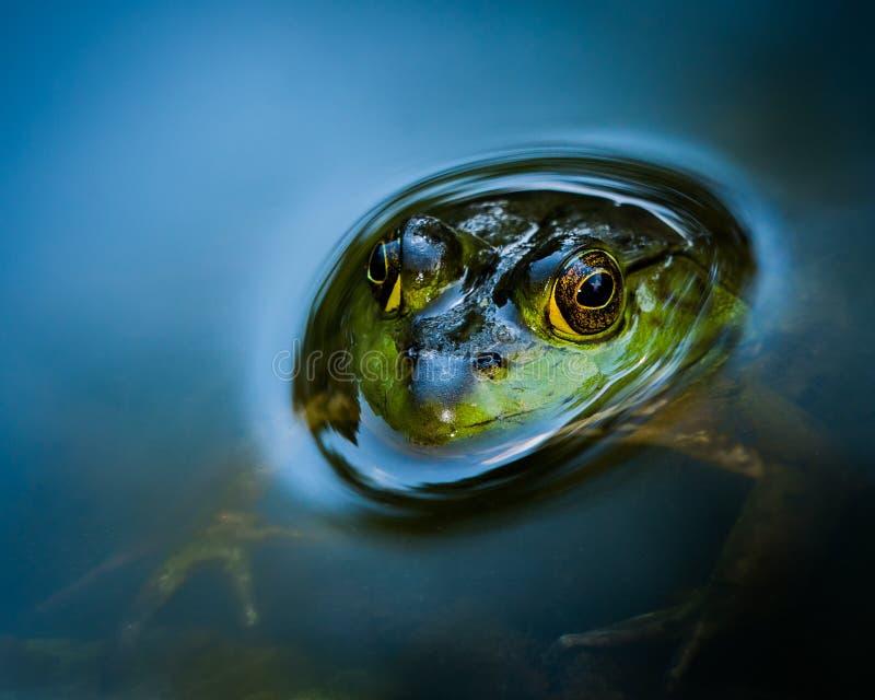 Ciekawy Bullfrog zdjęcie stock