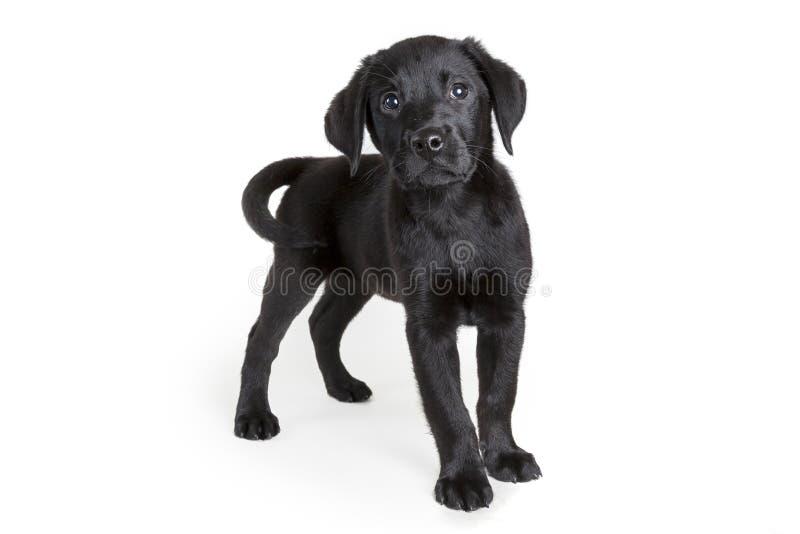 Ciekawy Czarny Labrador Retriever szczeniak zdjęcia stock
