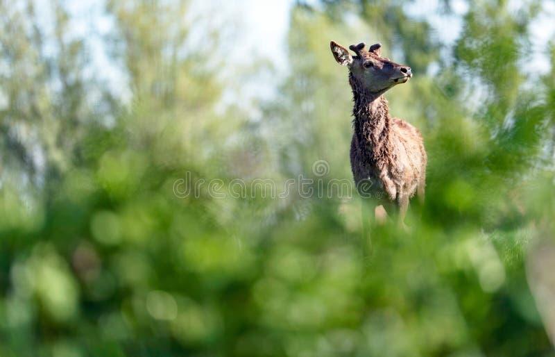 Ciekawy czerwonego rogacza jeleń za krzakami zdjęcie royalty free