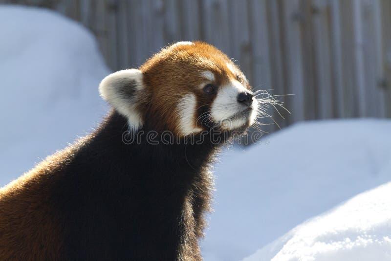 Ciekawy czerwonej pandy przyglądający up obrazy stock