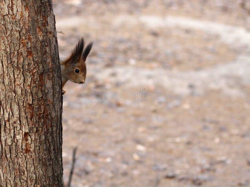Ciekawy czerwonej wiewiórki zerkanie za drzewnym bagażnikiem fotografia royalty free