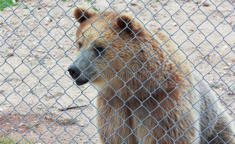 Ciekawy grizzly niedźwiedź w zoo klatce obraz stock