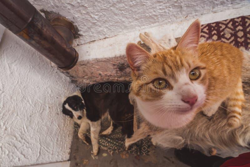 Ciekawy imbirowy tabby kot patrzeje kamerę zdjęcie stock