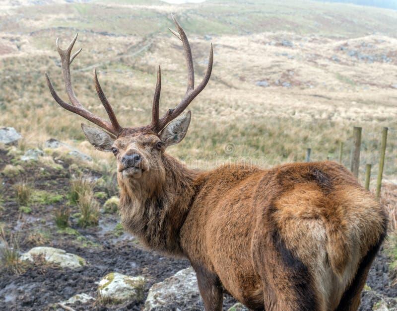 ciekawy jeleni czerwony jeleń fotografia royalty free