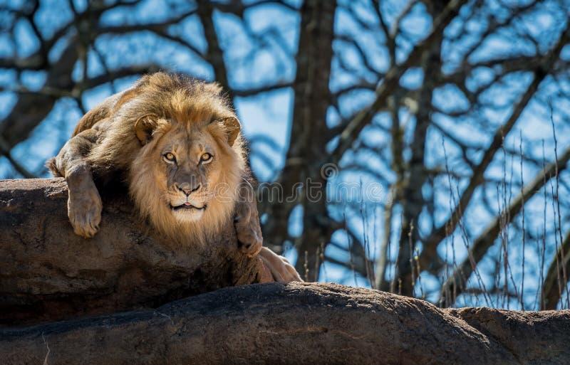 Ciekawy lew Na skale fotografia royalty free