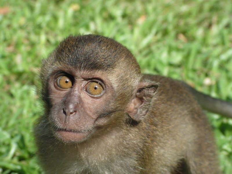 ciekawy małpie dziecko się gapić zdjęcie royalty free