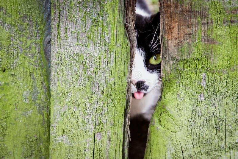Ciekawy mały kot z zielonymi oczami i jęzorem z usta obrazy royalty free