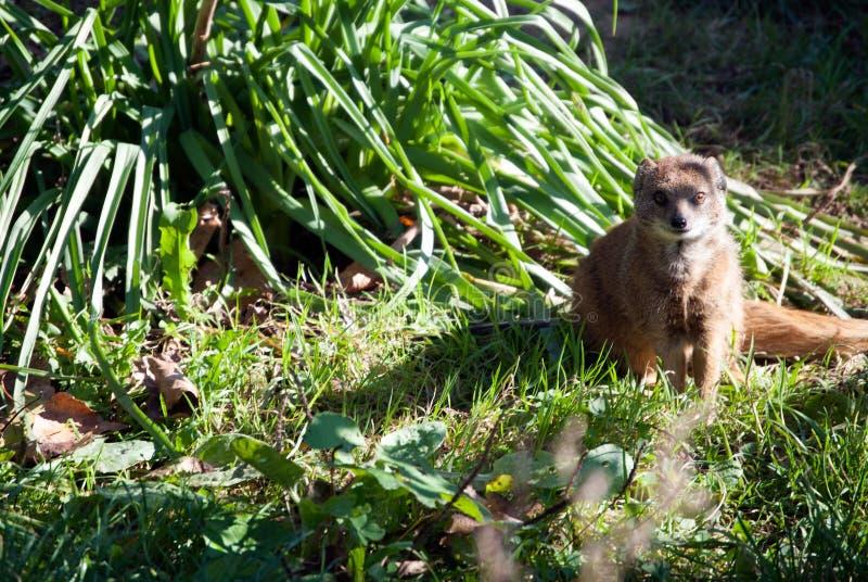 Ciekawy meerkat obsiadanie w trawie fotografia stock