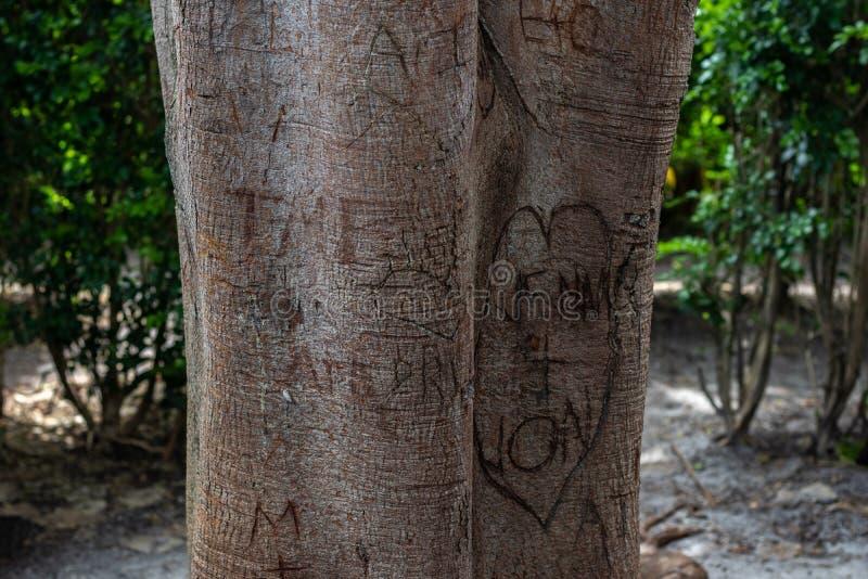 Ciekawy miłości drzewo w lesie obraz stock