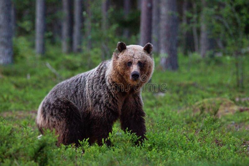 Ciekawy niedźwiedź brunatny ma kontakt wzrokowego obrazy stock