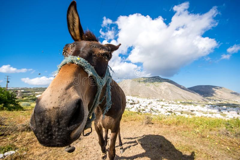 Ciekawy osioł z śmiesznym patrzejący pogodnego wiosna dzień przy Santorini obrazy royalty free