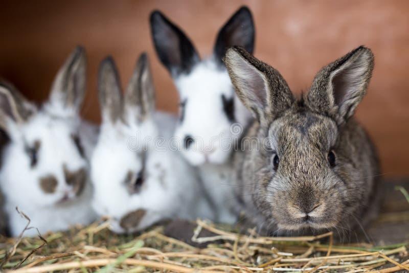 Ciekawy popielaty królik z swój rodzeństwami w klatce obraz royalty free