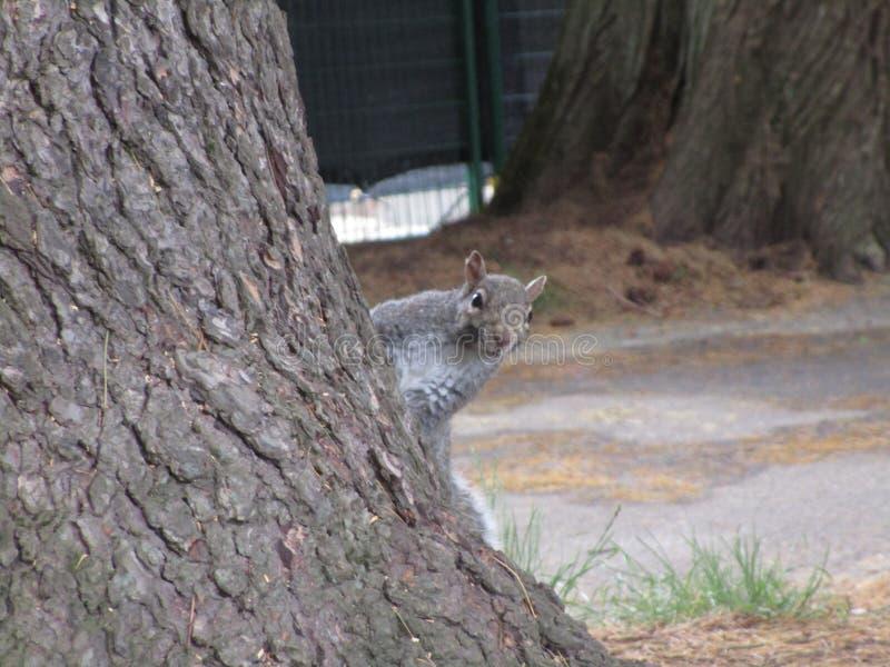 Ciekawy popielaty wiewiórczy podglądanie przy kamerą przy Stanley parkiem, Kanada, 2019 obraz stock