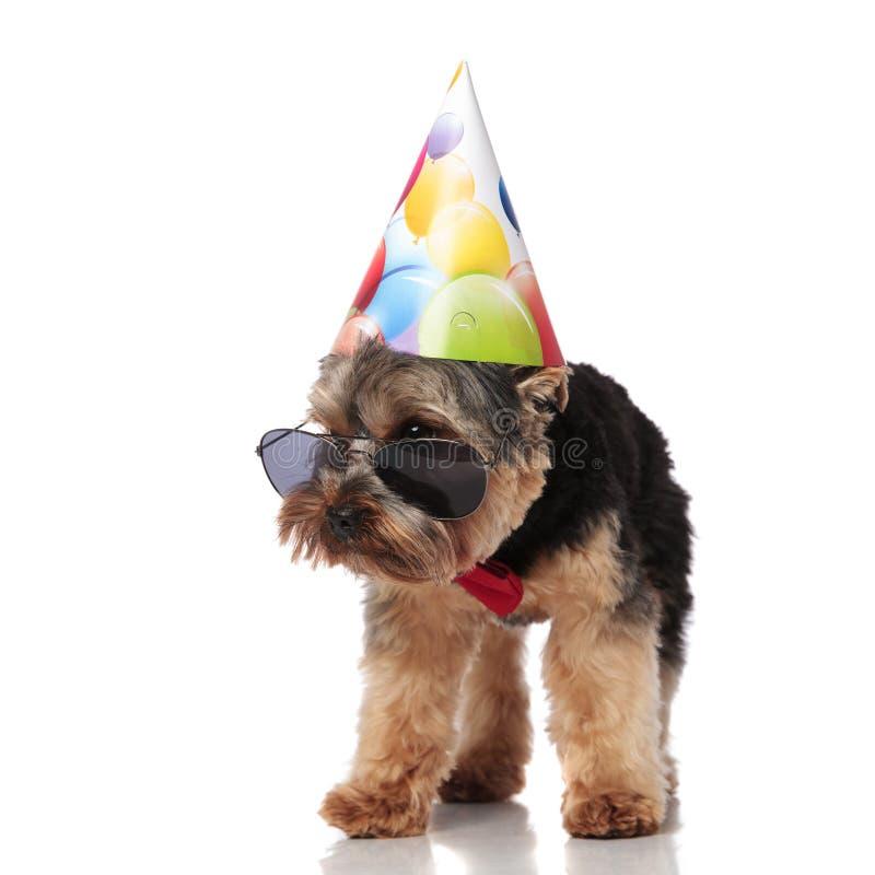 Ciekawy urodzinowy Yorkshire terier jest ubranym okularów przeciwsłonecznych spojrzenia popierać kogoś obrazy stock