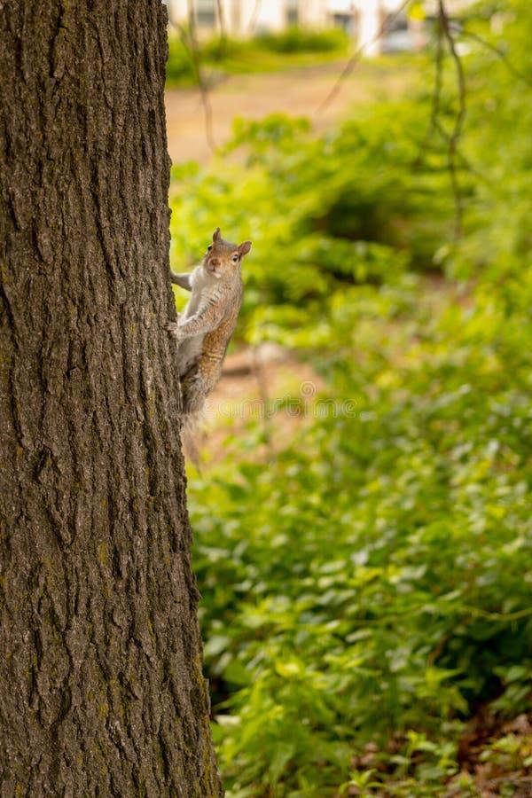 Ciekawy wiewiórczy pięcie drzewo patrzeje kamera obrazy stock