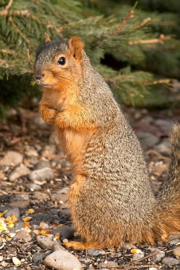 ciekawy wiewiórka drzewo obraz stock