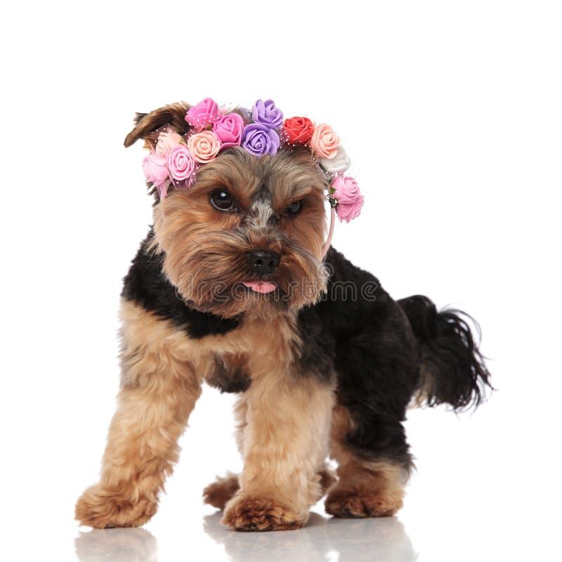 Ciekawy Yorkshire terier jest ubranym kwiat kapitałki spojrzenia zestrzela popierać kogoś fotografia stock