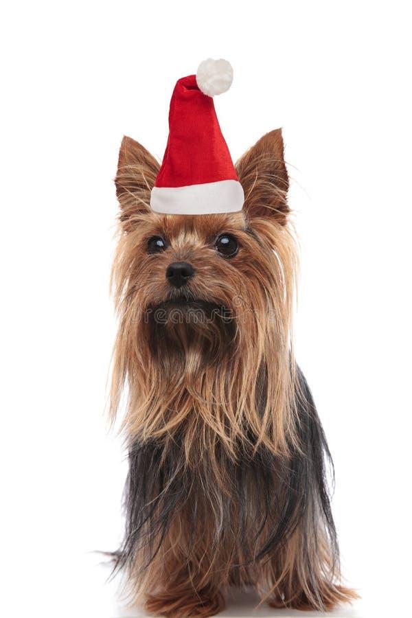 Ciekawy Yorkshire terier ubierający jako Santa Claus spojrzenia popierać kogoś obrazy royalty free