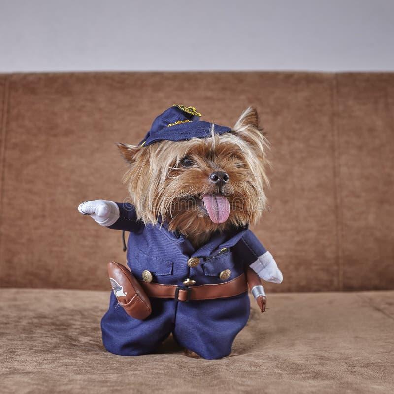 Ciekawy Yorkshire terier w kostiumu policjantów spojrzenia popierać kogoś fotografia royalty free