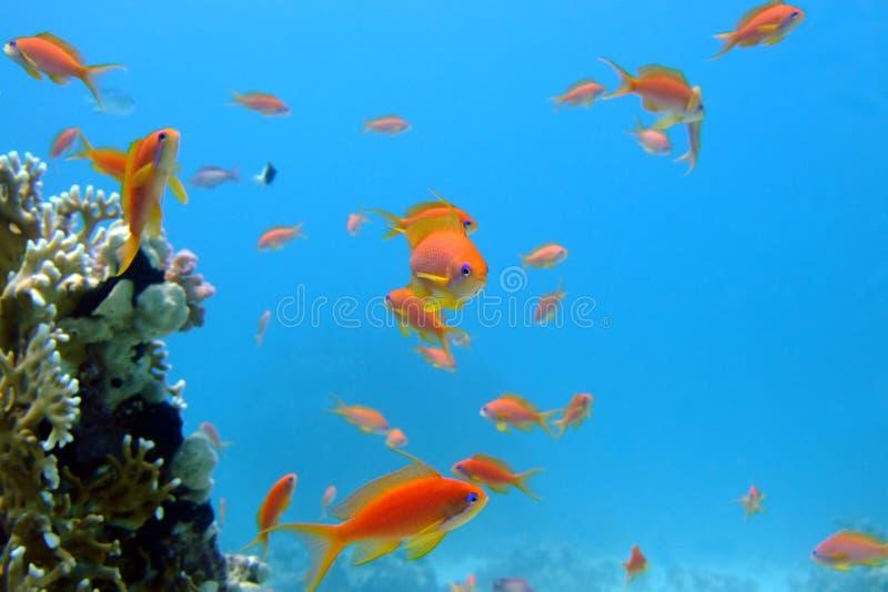 ciekawych ryba czerwony morze zdjęcie royalty free