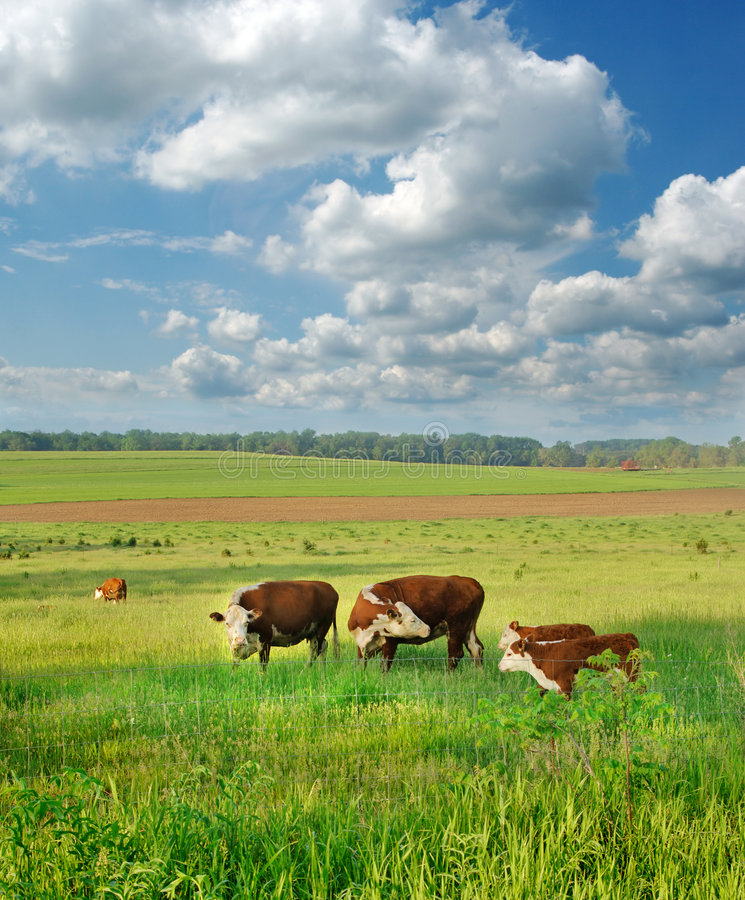 cieląt krów pole obrazy royalty free