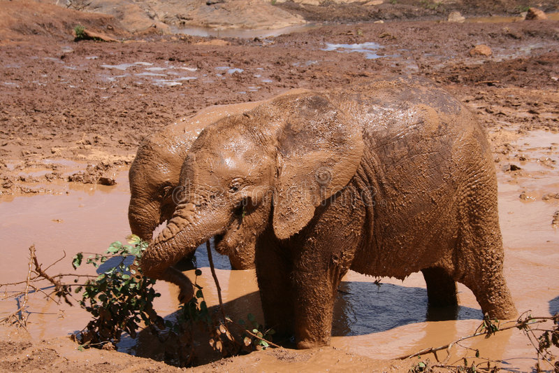 cielęta słonia fotografia stock
