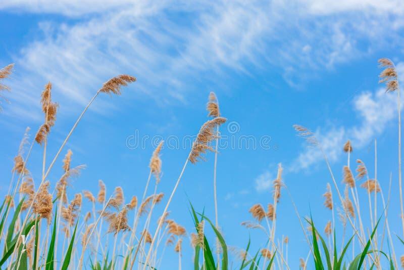 Ciel avec les nuages blancs et les cannes vertes sur le premier plan image libre de droits