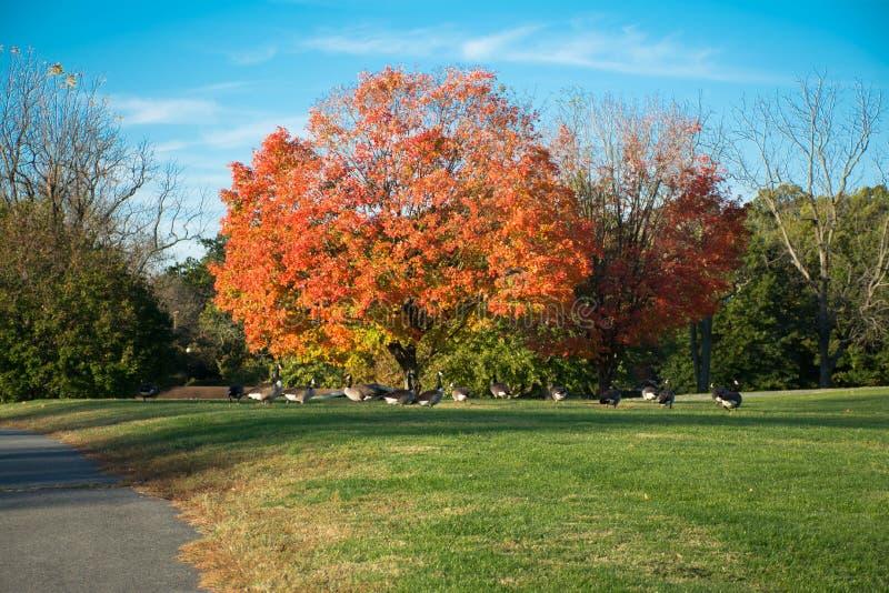 Ciel bleu, arbre orange, herbe verte, saison d'automne de brise photos libres de droits