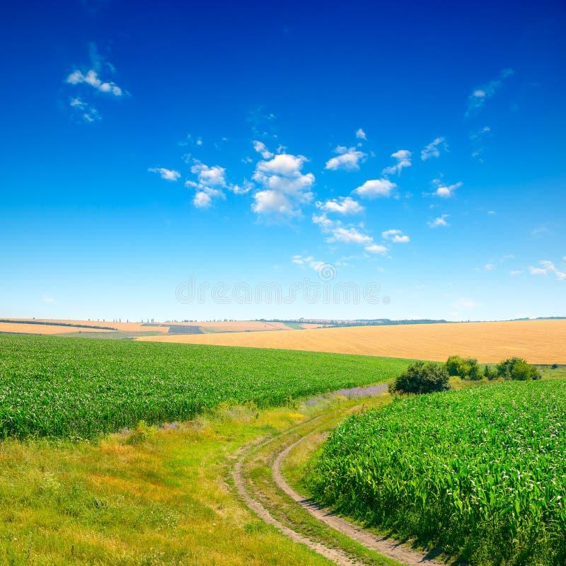 Ciel bleu au-dessus de champ de ma?s photographie stock libre de droits